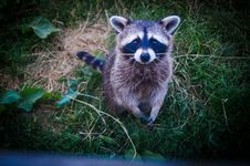 Free Brown And Black Raccoon Photo Royalty Free Stock Photography - 109907437