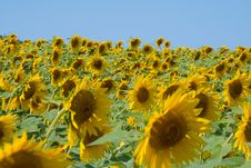 Free Field Of Sunflowers Stock Image - 109907551