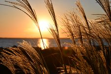Free Closeup Photo Of Wheat During Golden Hour Royalty Free Stock Image - 109907556