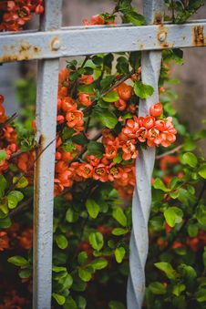 Free Pink Petaled Flowers Behind White Metal Fence Stock Photography - 109907572