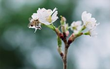 Free White Clustered Flowers With Bee On Top Stock Photos - 109907623