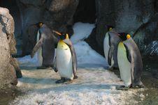 Free Four King Penguins Stock Photo - 109907640