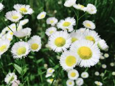 Free Asters Flowers Stock Photo - 109907660