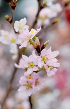 Free Closeup Photography Of Pink Cherry Blossoms Royalty Free Stock Photography - 109907687