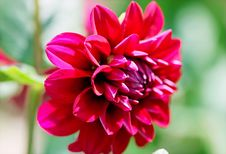 Free Selective Focus Photography Of Red Dahlia Flower Stock Photography - 109907702