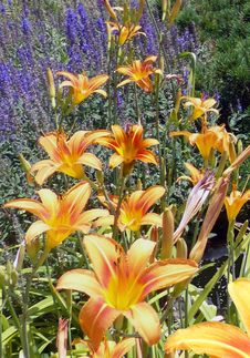 Free Orange Daylily Flowers In Bloom Stock Photos - 109907713