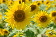Free Sunflowers Stock Images - 109907734