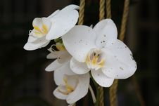 Free White Moth Orchid Flower Stock Photography - 109907772