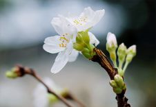 Free Selective Focus Of White Clustered Flowers Stock Photo - 109907820