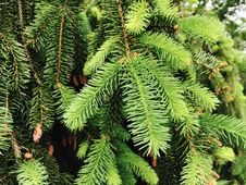 Free Closeup Conifer Tree Royalty Free Stock Images - 109907869