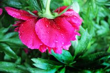 Free Pink Peony Flower In Closeup Photography Royalty Free Stock Photography - 109907887