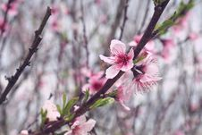 Free Pink Cherry Blossoms Royalty Free Stock Image - 109908026