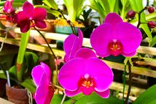 Free Pink Moth Orchids Stock Images - 109908144