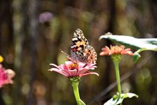 Free Close-up Photography Of A Butterfly On Top Of The Pink Flower Royalty Free Stock Images - 109908159