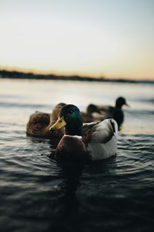 Free Depth Of Field Photography Of Mallard Duck On Body Of Water Royalty Free Stock Photo - 109908195