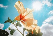 Free Photography Of Yellow Hibiscus Under Sunlight Stock Photography - 109908322