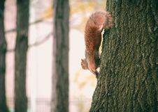 Free Brown Squirrel On Black Tree Stock Photos - 109908393