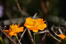 Free Selective Focus Photography Of Yellow Tithonia Flowers Royalty Free Stock Image - 109908406