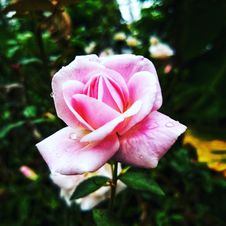 Free Pink Rose Flower In Closeup Photo Royalty Free Stock Photo - 109908425