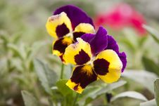 Free Selective Focus Photography Of Yellow And Purple Petaled Flowers Royalty Free Stock Photography - 109908447