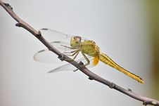 Free Green Dragonfly On Brown Tree Branch Stock Image - 109908501