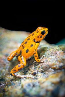 Free Orange And Black Frog Royalty Free Stock Images - 109908639