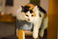 Free Calico Cat Stock Images - 109908644