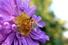 Free Macro Photography Of Bee On A Flower Stock Photo - 109908810