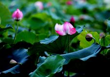 Free Selective Focus Photo Of Pink And White Petaled Flowers Stock Image - 109908881