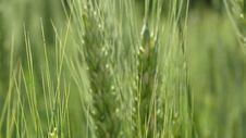 Free Green Wheat Royalty Free Stock Image - 109909026