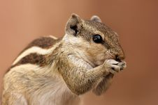 Free Brown And Gray Squirrel Stock Photo - 109909050