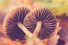 Free Two Brown Mushrooms On Ground Stock Photos - 109909123