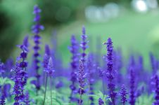 Free Purple Flowers Royalty Free Stock Image - 109909156