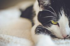 Free Black And White Short Coated Cat Stock Images - 109909244