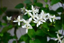 Free White Petaled Flowers Royalty Free Stock Photography - 109909247
