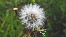 Free White Dandelion Flower Stock Photo - 109909290