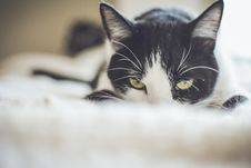 Free Close-up Photography Of A Tuxedo Cat Stock Photo - 109909380