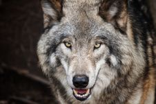 Free Brown Wolf Royalty Free Stock Image - 109909406