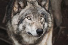 Free Grey And White Wolf Selective Focus Photography Royalty Free Stock Photos - 109909538