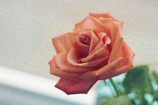 Free Pink Rose Focus Photo Royalty Free Stock Photo - 109909565