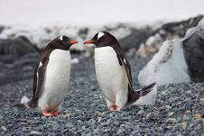 Free Selective Focus Photography Of Two Penguins Stock Image - 109909631