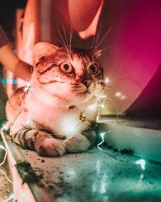 Free Closeup Photo Of String Light On Tabby Cat Stock Image - 109909761