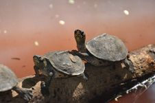 Free Two Brown Sea Turtle On Tree Branch Stock Images - 109909884