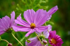 Free Purple Cosmos Flower In Closeup Photo Royalty Free Stock Photos - 109909978
