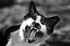 Free Gray Scale Photo Of Cat Showing Mouth Royalty Free Stock Photography - 109910007