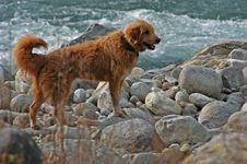 Free Labrador Dog Near Yhe Ocean Royalty Free Stock Image - 109910056