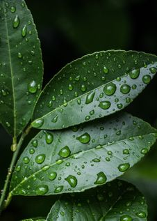 Free Green Leaves With Water Drops Stock Image - 109910121