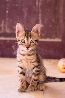 Free Closeup Up Photography Of Dragon Li Kitten Royalty Free Stock Photo - 109910165