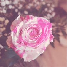 Free Close-up Photography Of A Rose Stock Images - 109910174