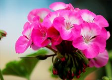 Free Close-up Photo Of Blooming Pink Petaled Flowers Royalty Free Stock Images - 109910309
